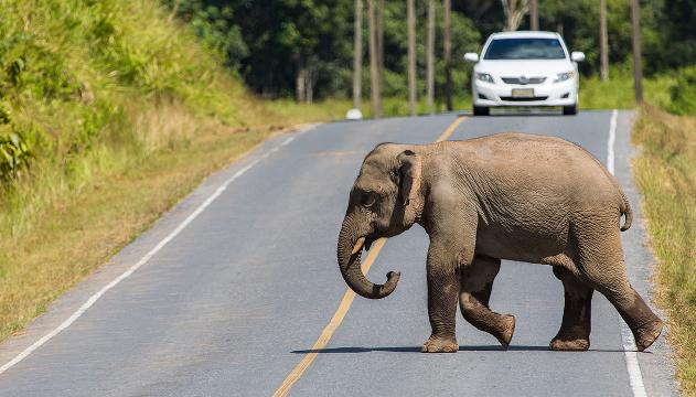 Paura in strada: terrificante incidente con l'elefante